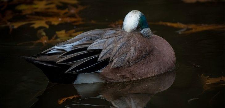 American Widgeon photograph by Chris Reecer